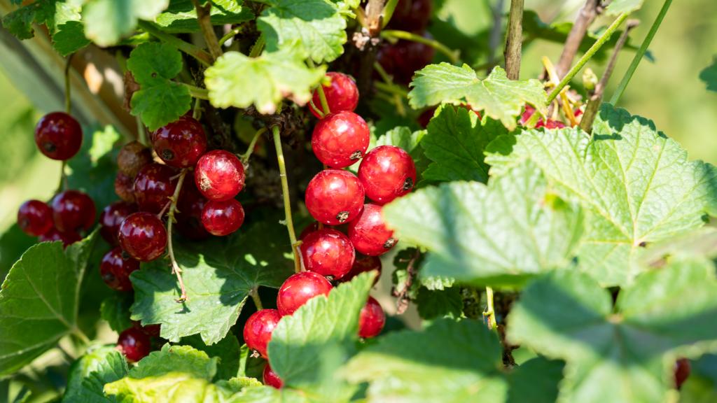 Rote Johannisberren aus unser Garten